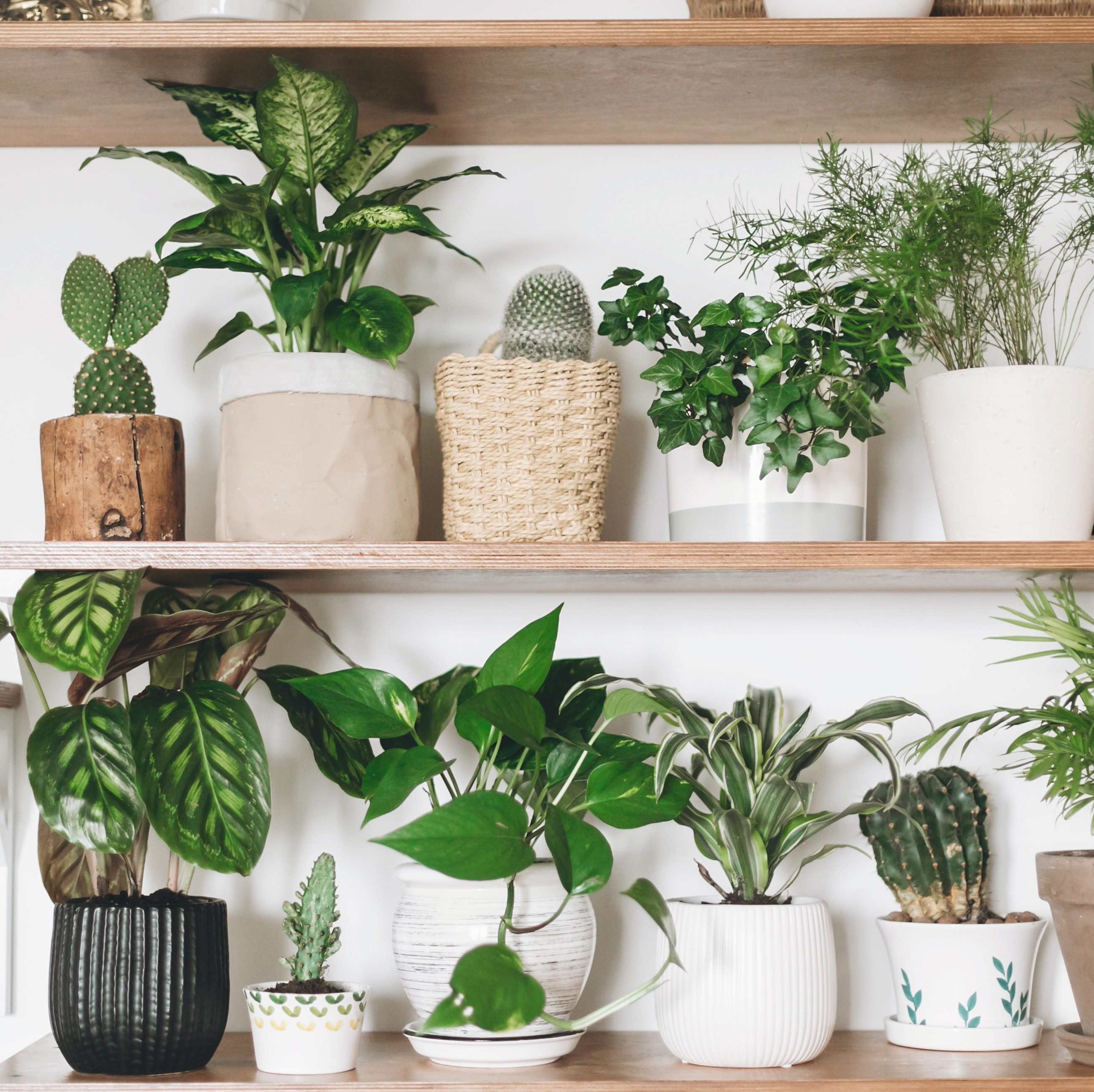 Stylish wooden shelves with green plants and black watering can. Modern room decor. Cactus, dieffenbachia, asparagus, epipremnum, calathea,dracaena,ivy, palm,sansevieria in pots on shelf