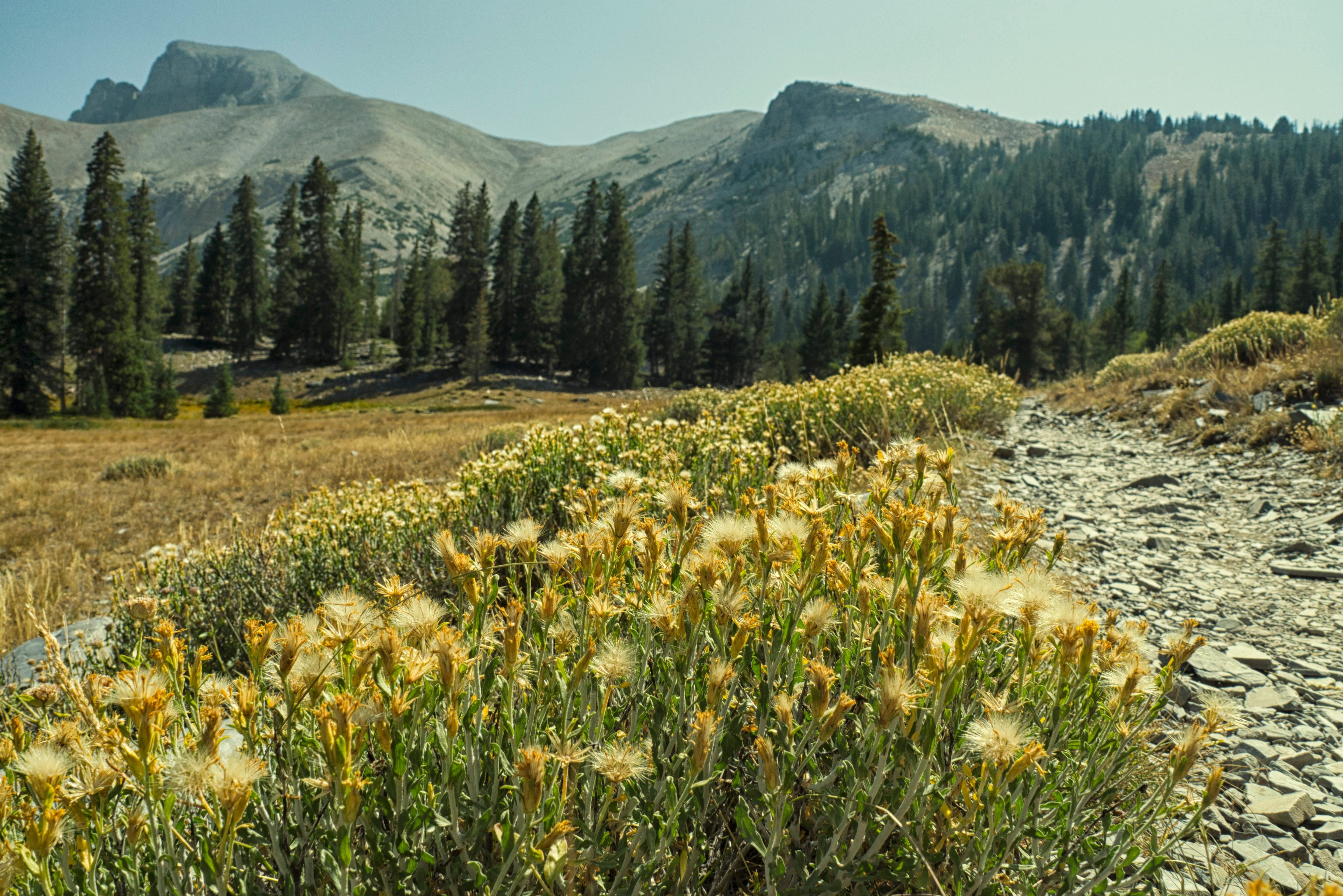 Wildflower Pathway Landscape at Great Basin National Park