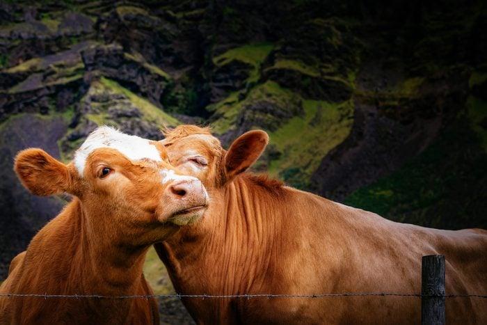 Icelandic cow best friends kissing.