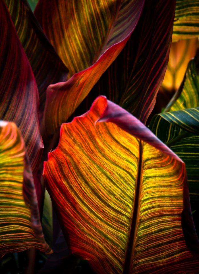 Vibrant Coloured Leaves of Canna Plant