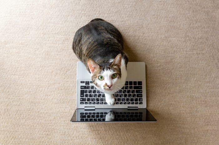 Cat playing with a laptop