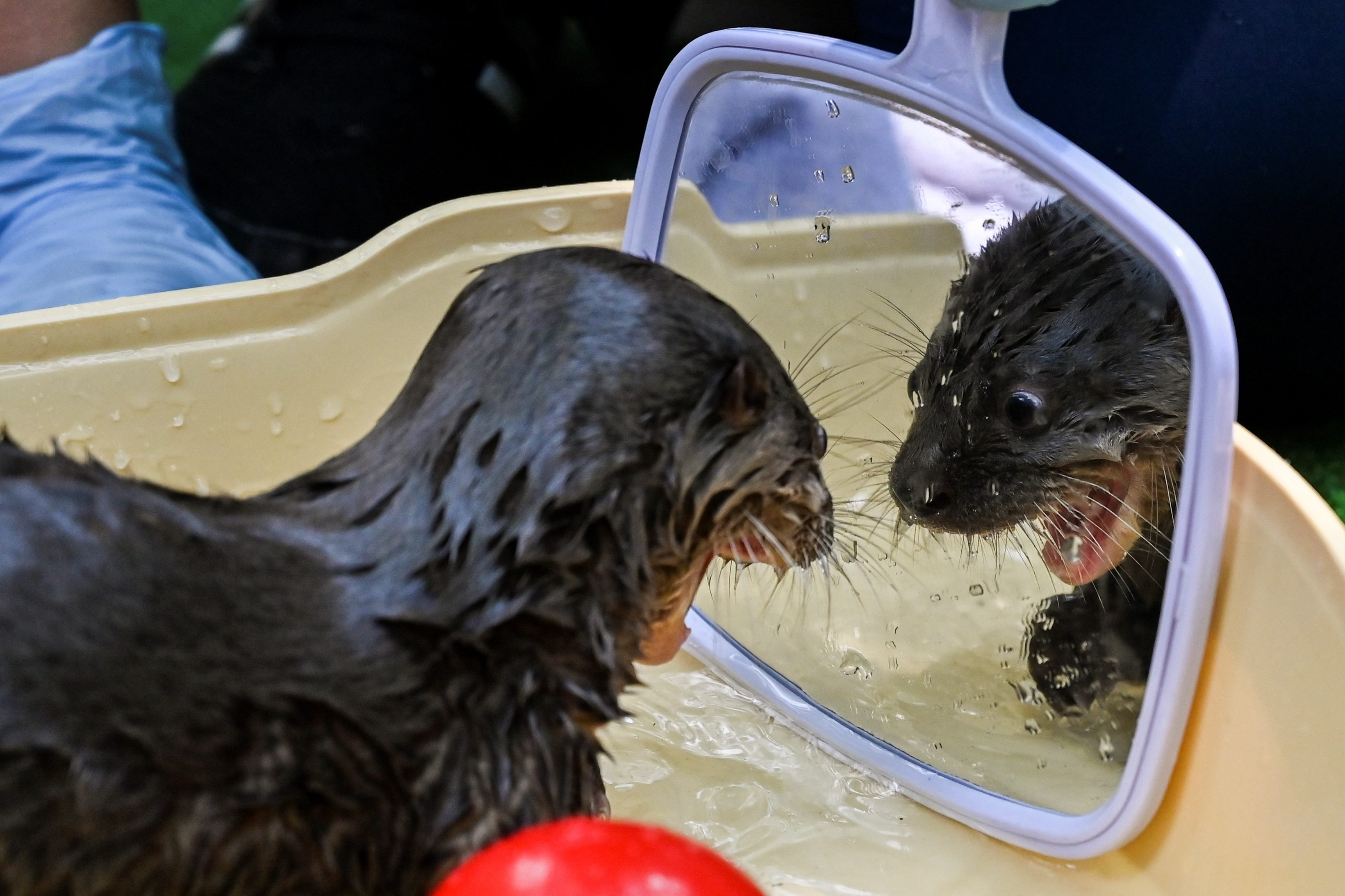 TOPSHOT-COLOMBIA-ANIMALS-OTTER
