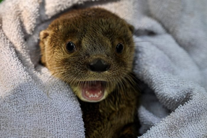 COLOMBIA-ANIMALS-OTTER