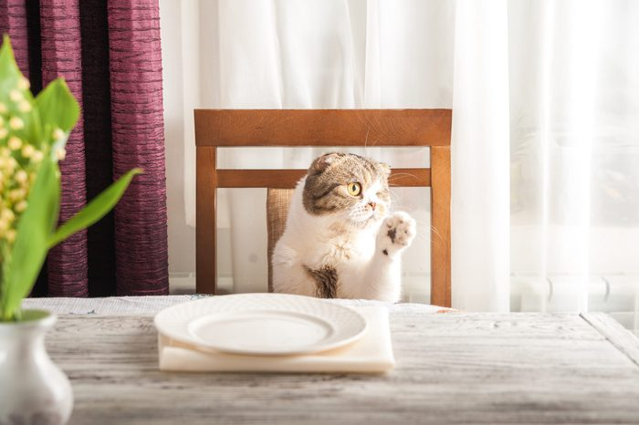A hungry domestic cat is sitting at a table with an empty plate. Home cat is waiting for a delicious dinner.