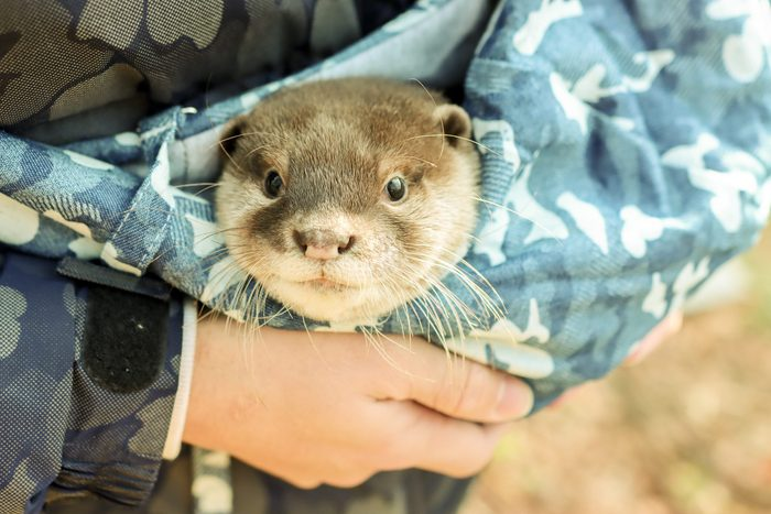 Baby Otter for Pet