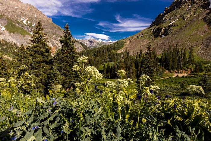 Scenic beauty in summer spring of wildflowers and mountains, Yankee Boy Basin, Ouray Colorado