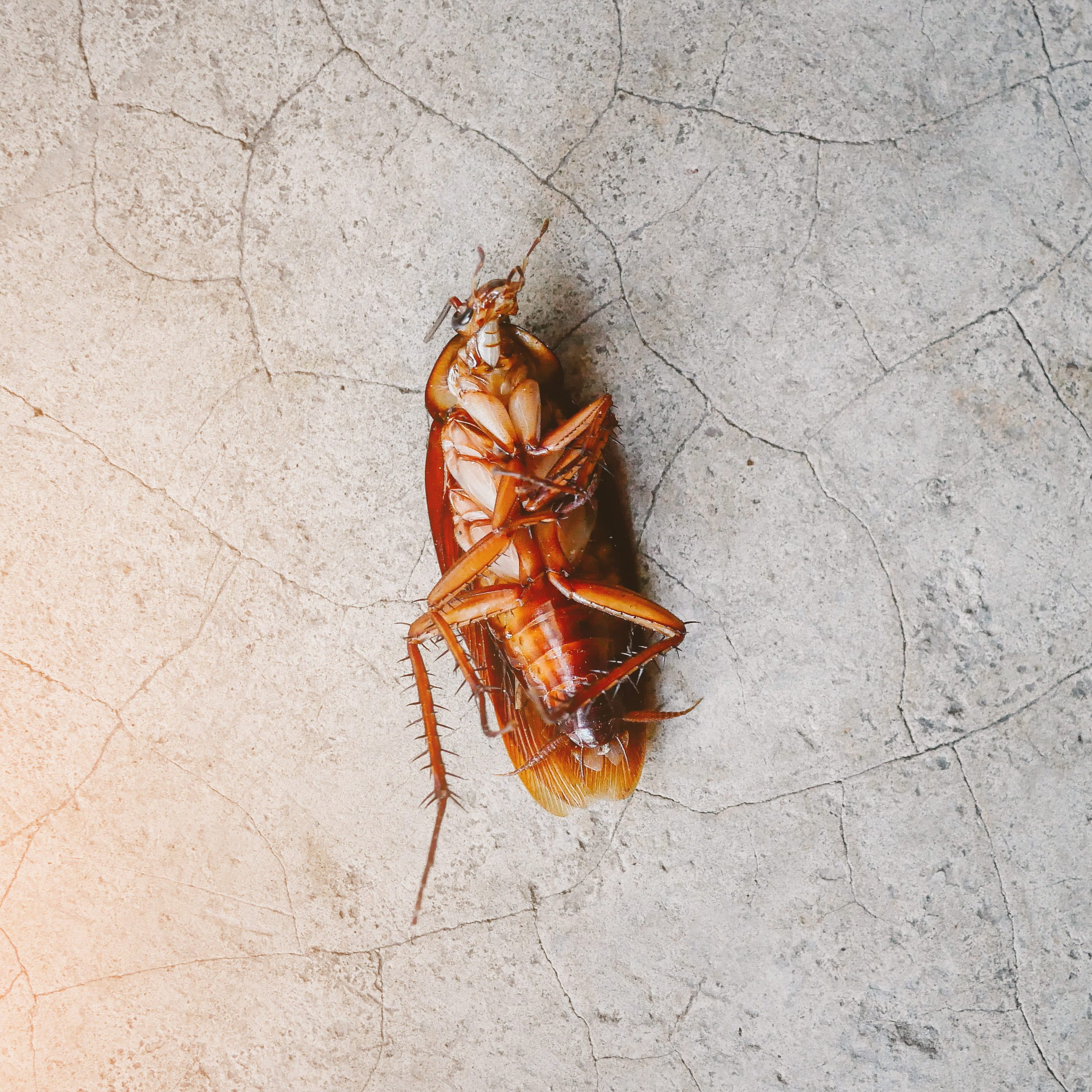 High Angle View Of Dead Cockroach On Floor.