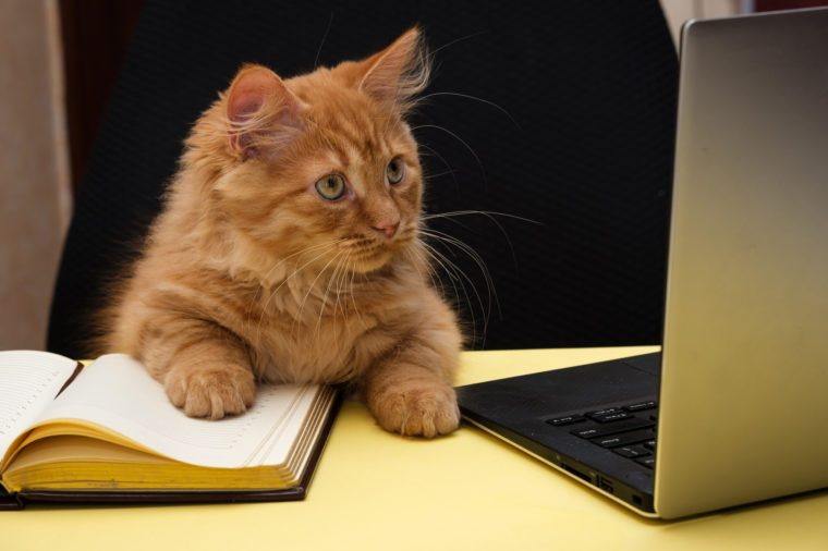 cat sits at a table near the diary and laptop