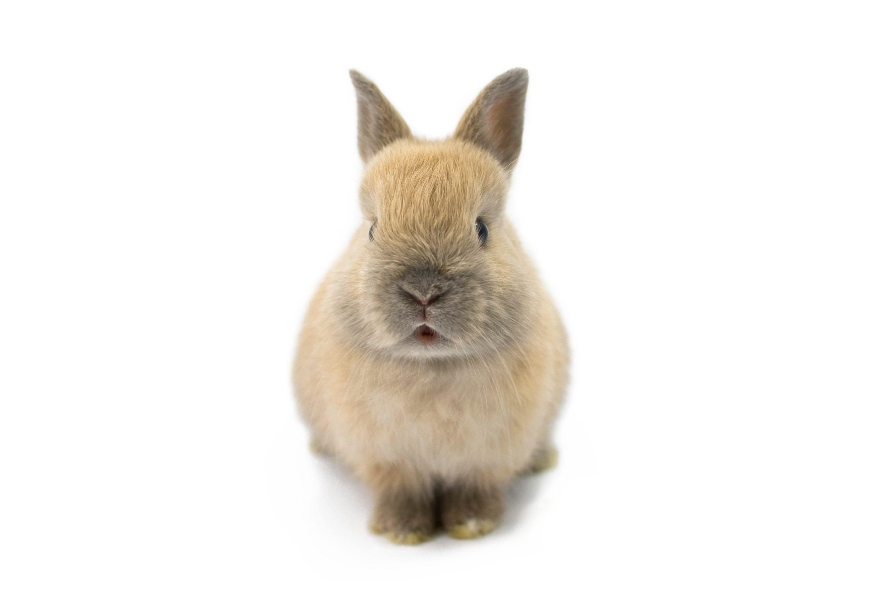 Baby of Netherland Dwarf Rabbit