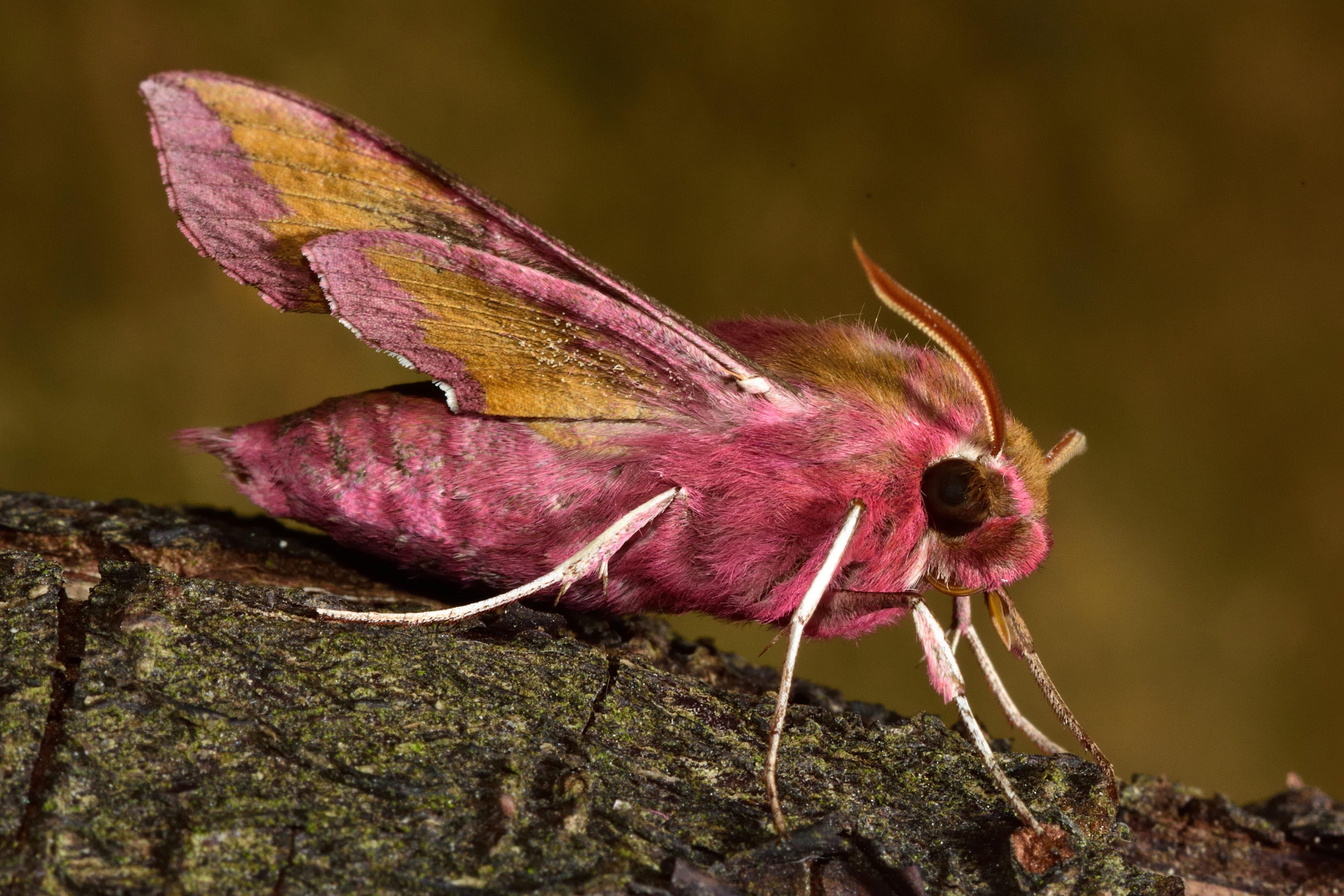 Small elephant hawk-moth (Deilephila porcellus) in profile