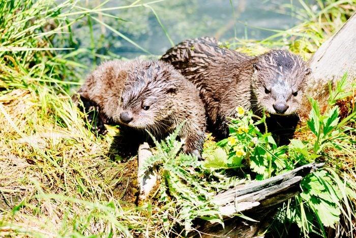 Otter pups, Yellowstone