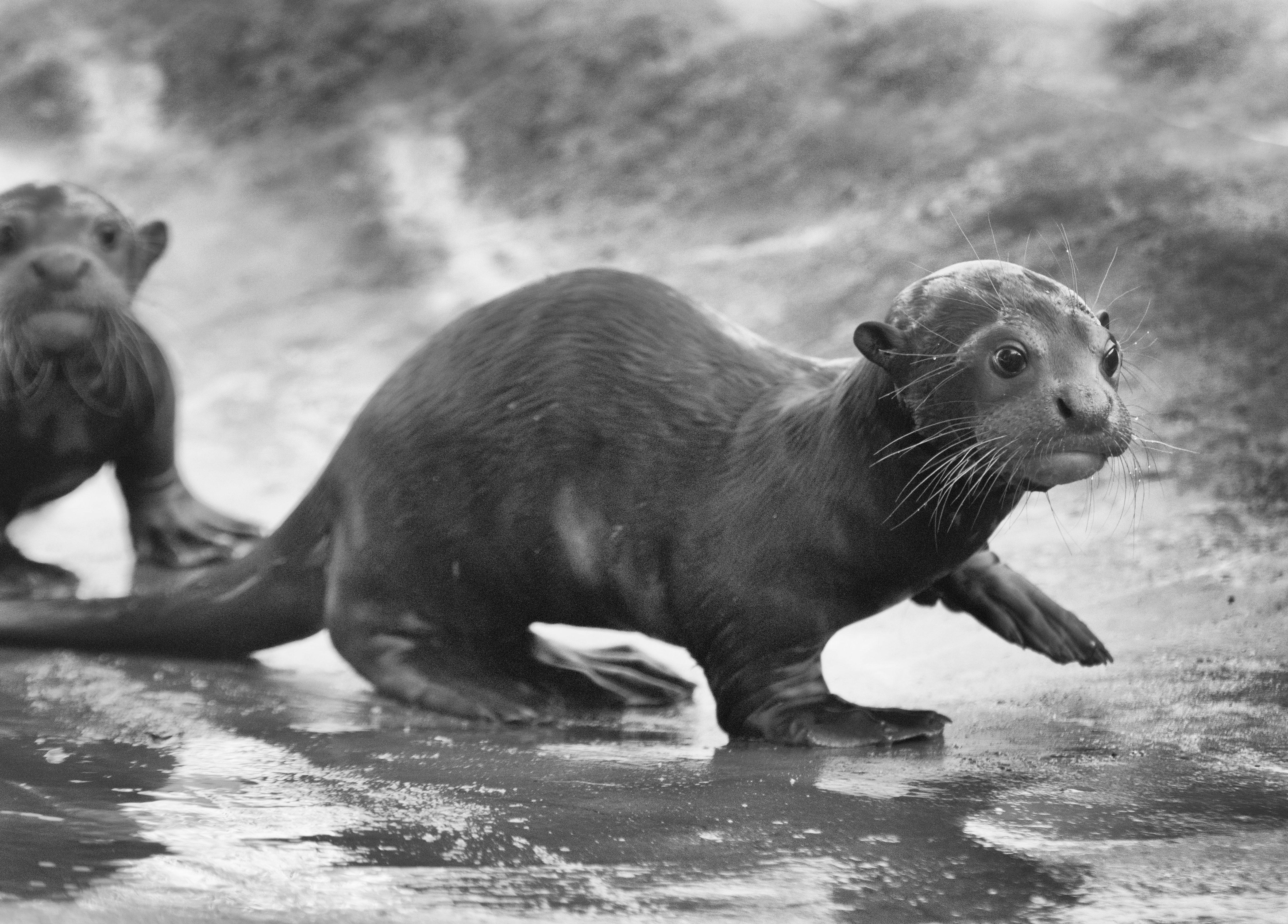River Otter Pups