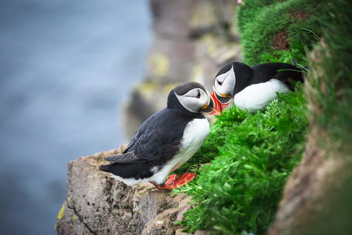 Couple Puffin on cliff in summer.