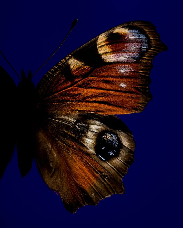 Part of butterfly with eye