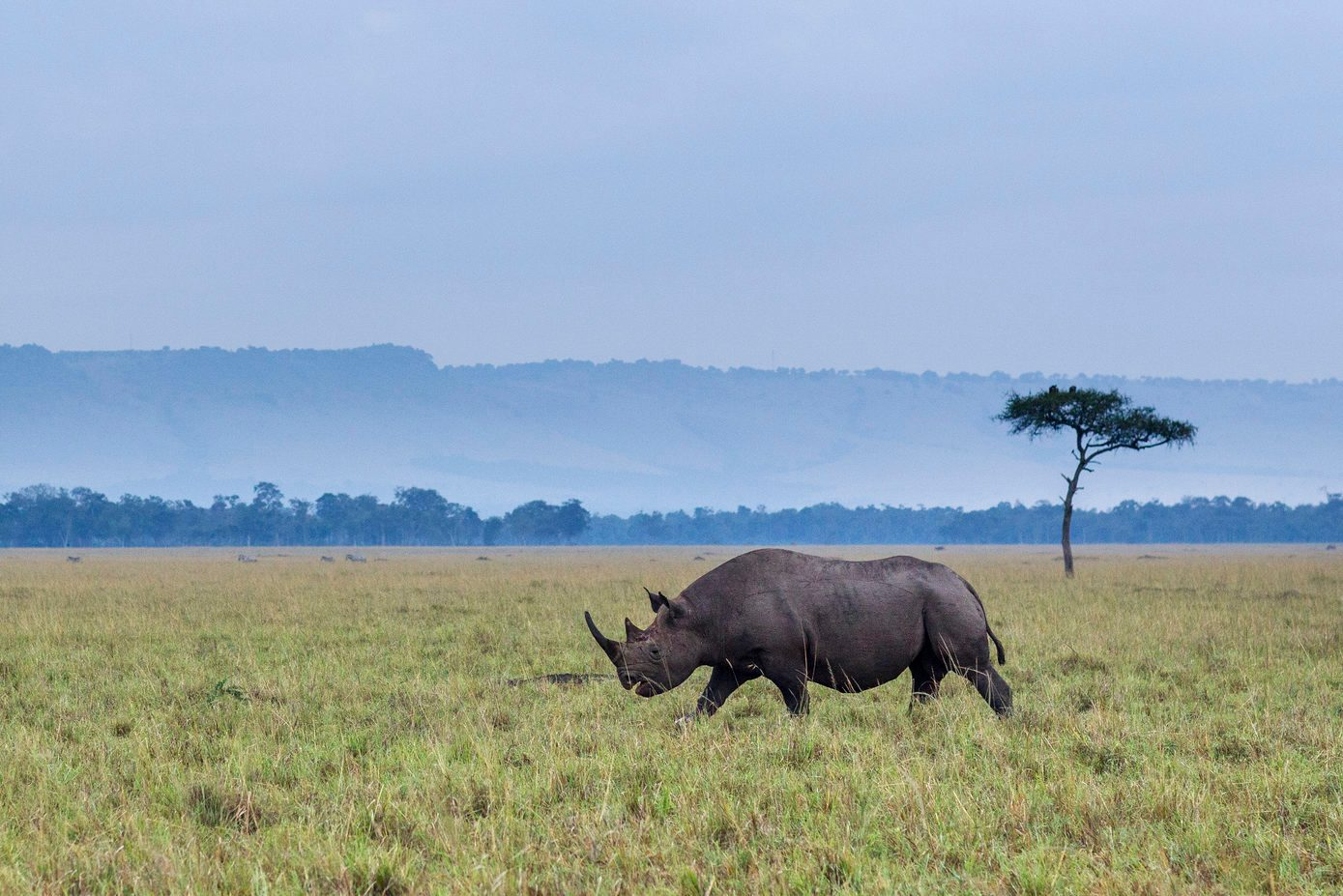 Black rhinoceros walking