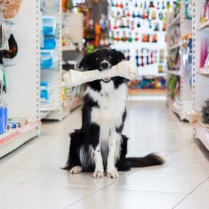 Cute Border Collie with big pet bone in pet store