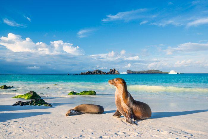 Galapagos sea lion (Zalophus wollebaeki) at the beach of Espanola island