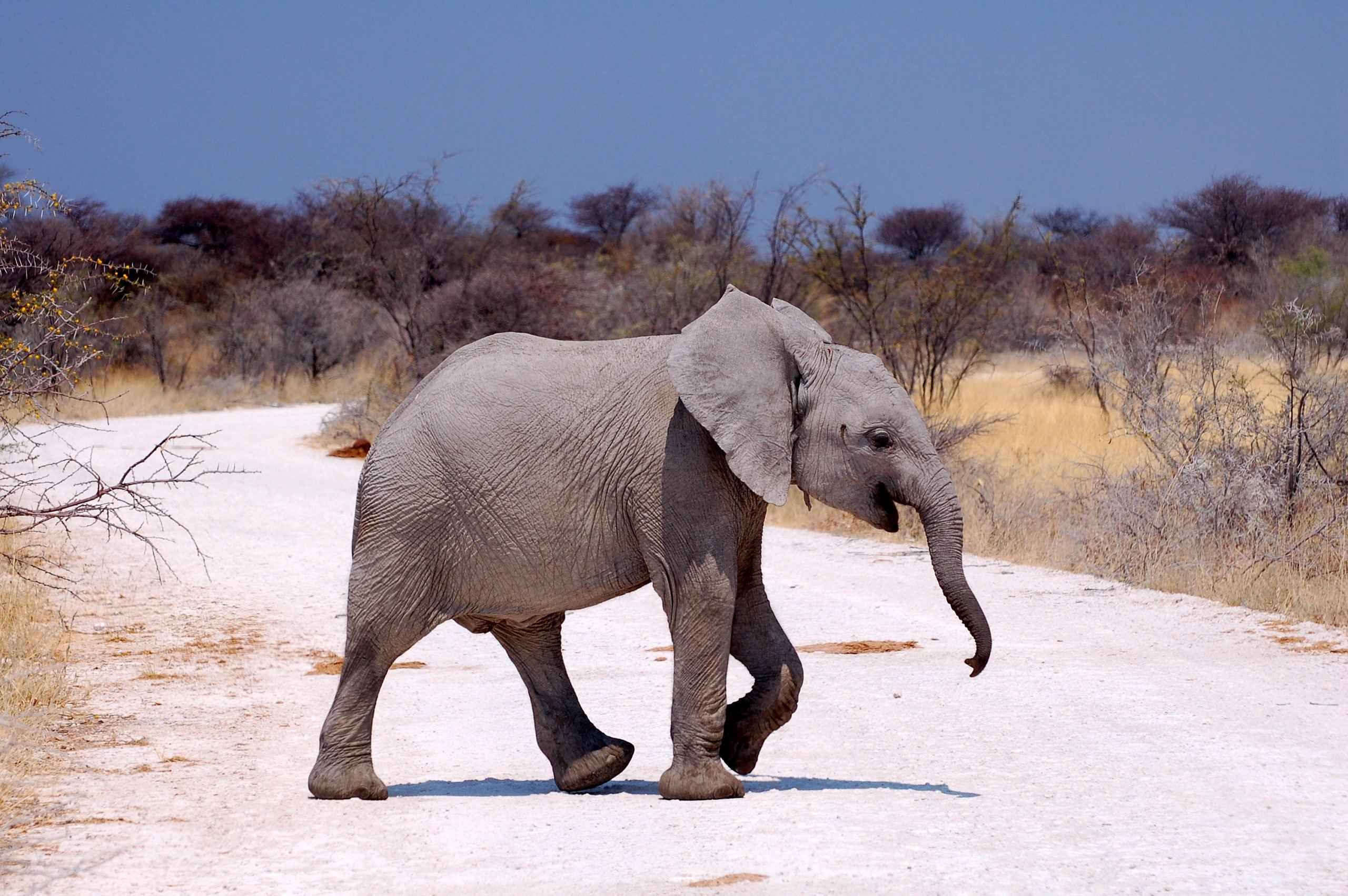 Small Elephant in the Etosha National Park crossing the road