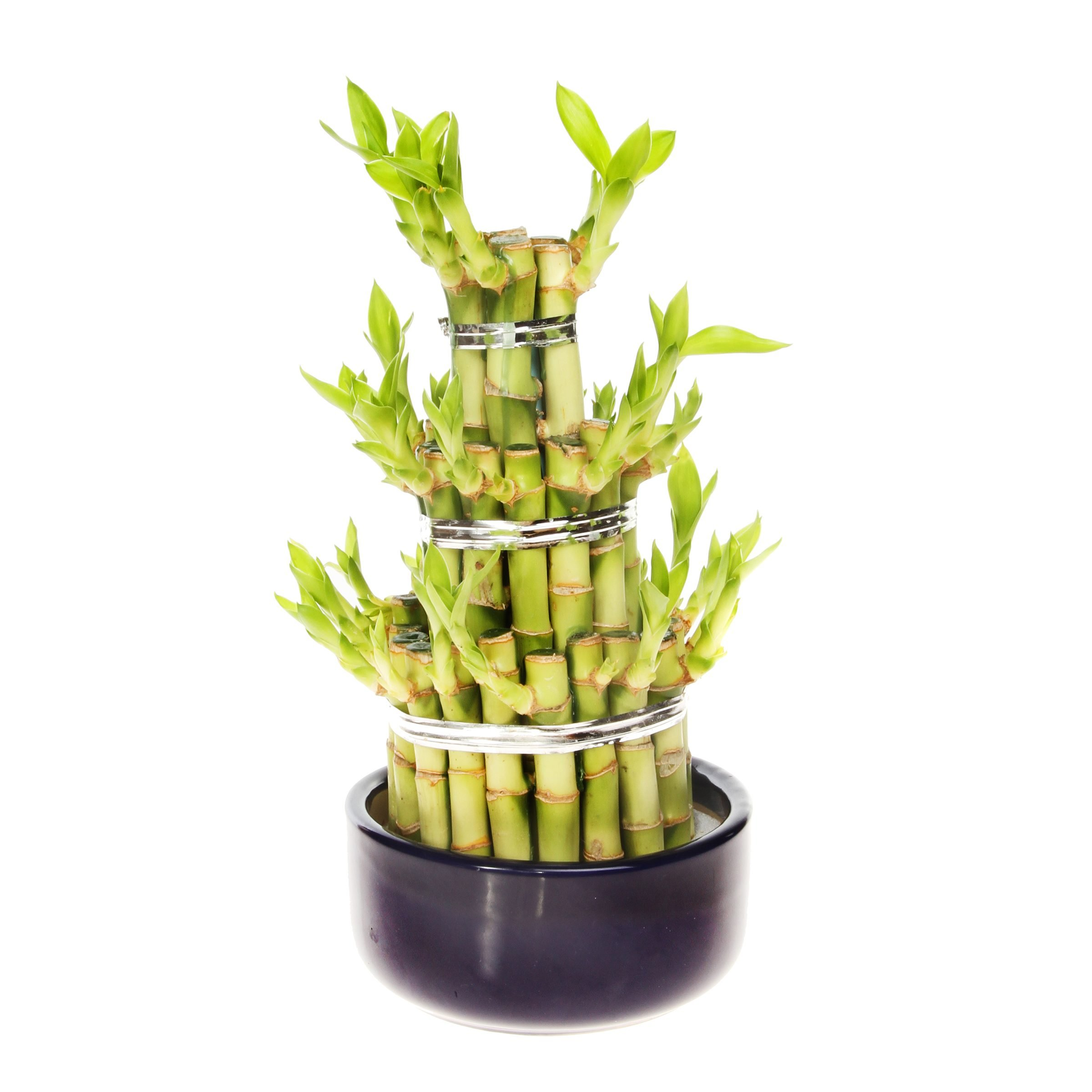 Lucky bamboo in black dish