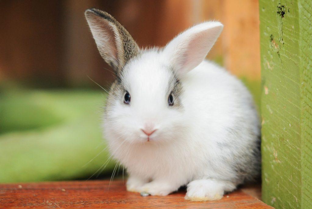Young kit rabbits