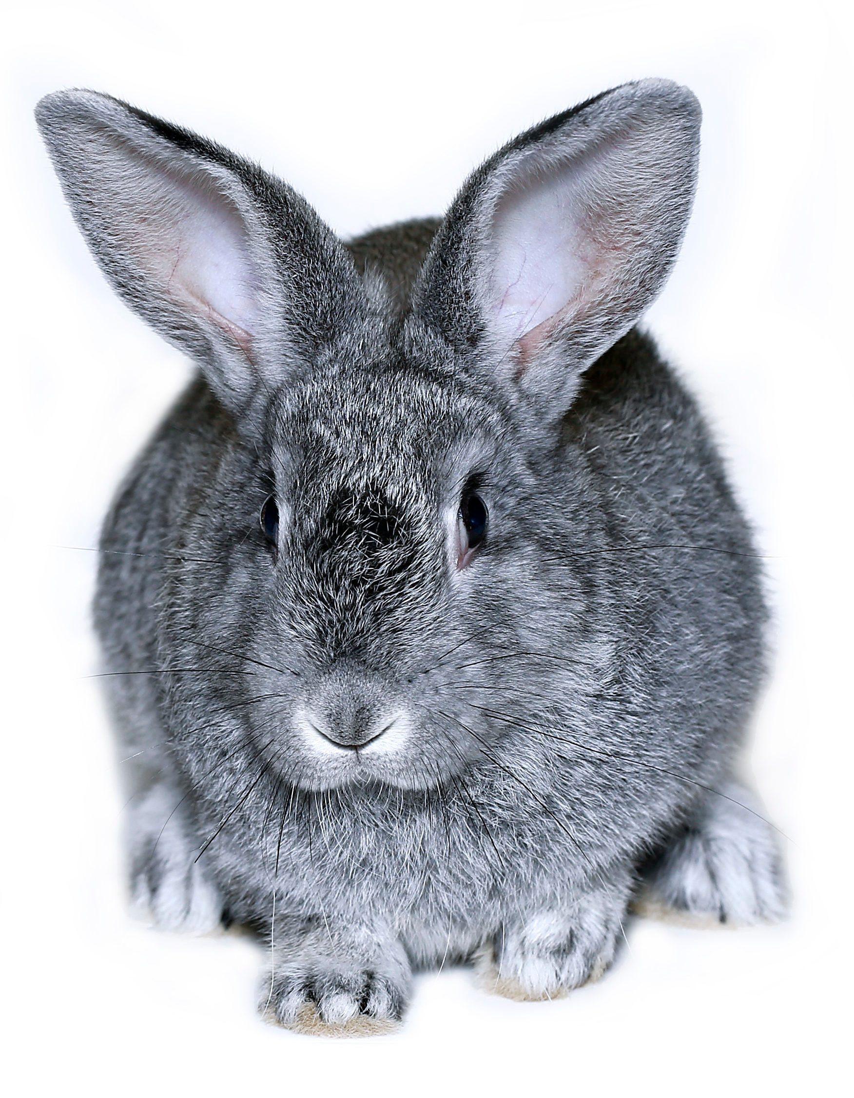 Little rabbit breed of gray silver chinchilla