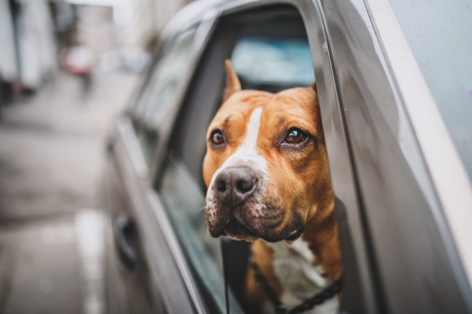 Staffordshire Bull Terrier in the car