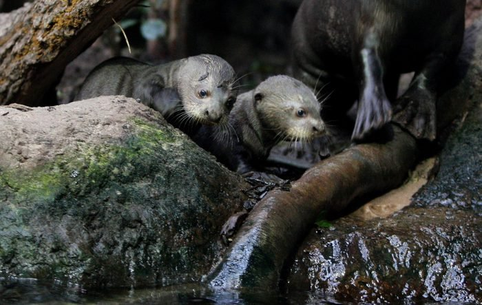 Baby Giant Otter Pups at Chester Zoo