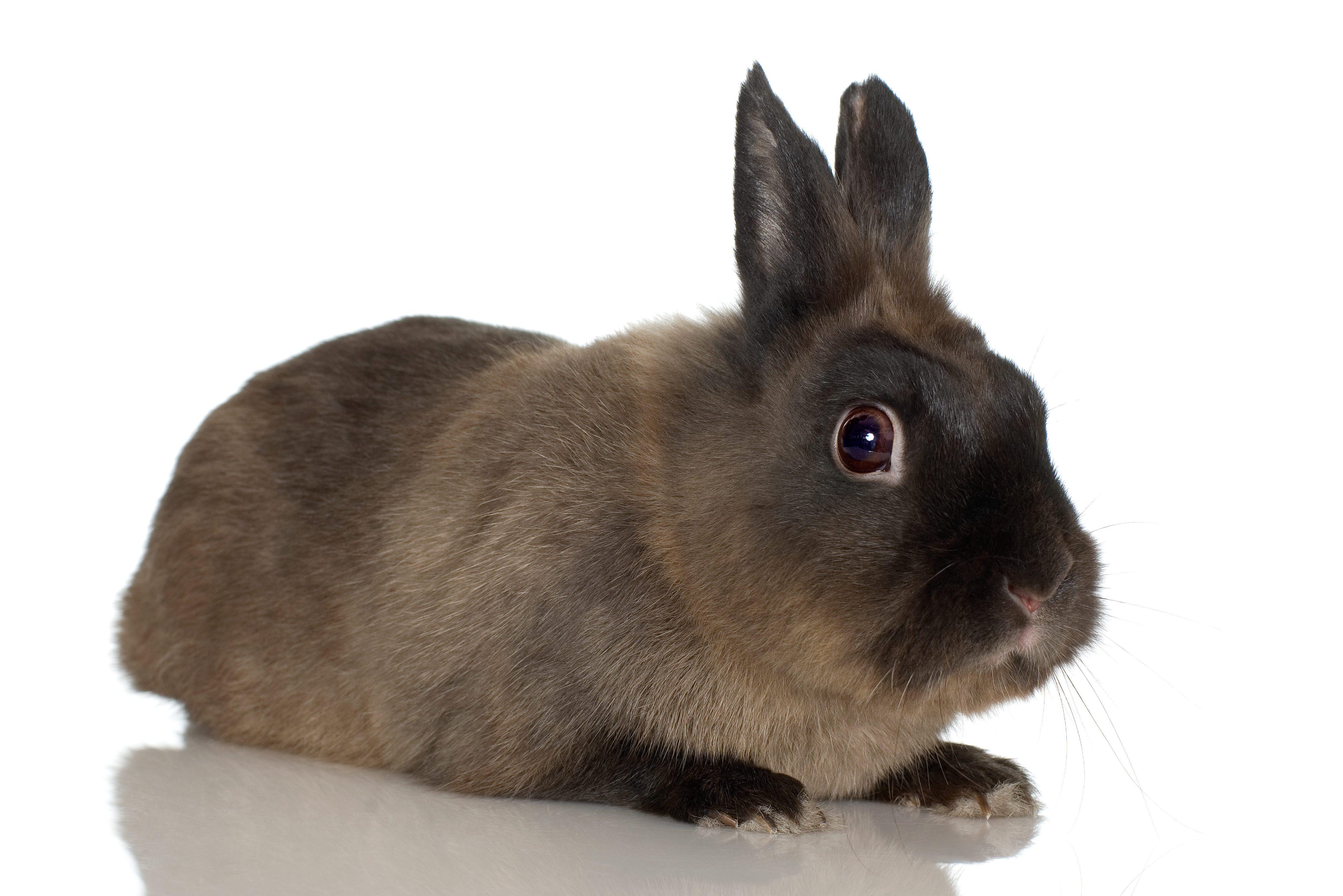 Studio portrait of Himalayan rabbit