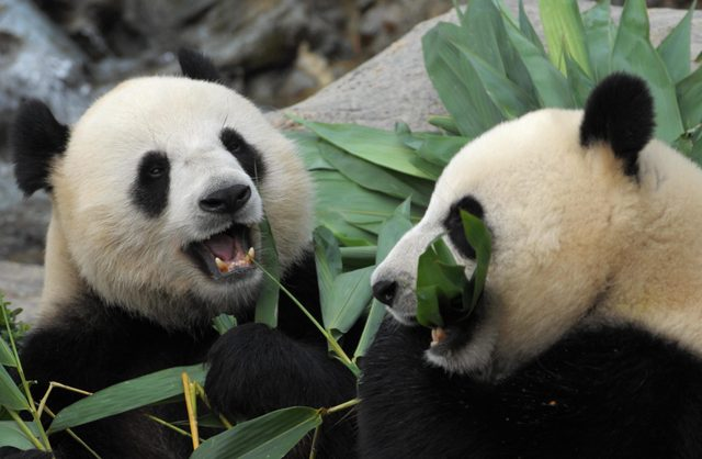 Giant Pandas Le Le (L) and Ying Ying (R)