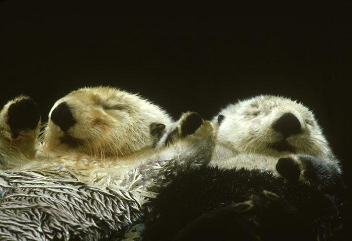 sea otter, enhydra lutris, north america
