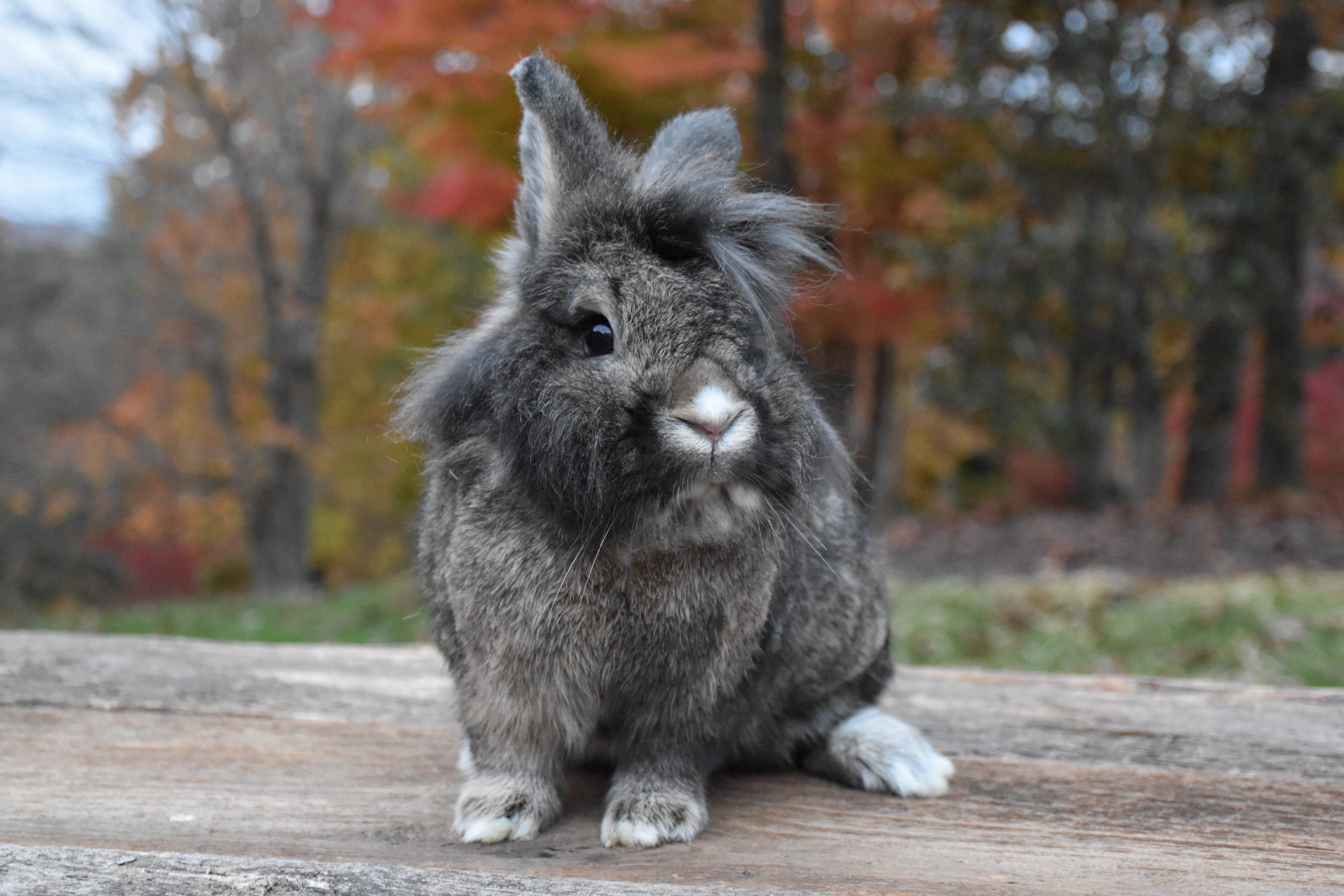 Lion Head Rabbit Outdoors