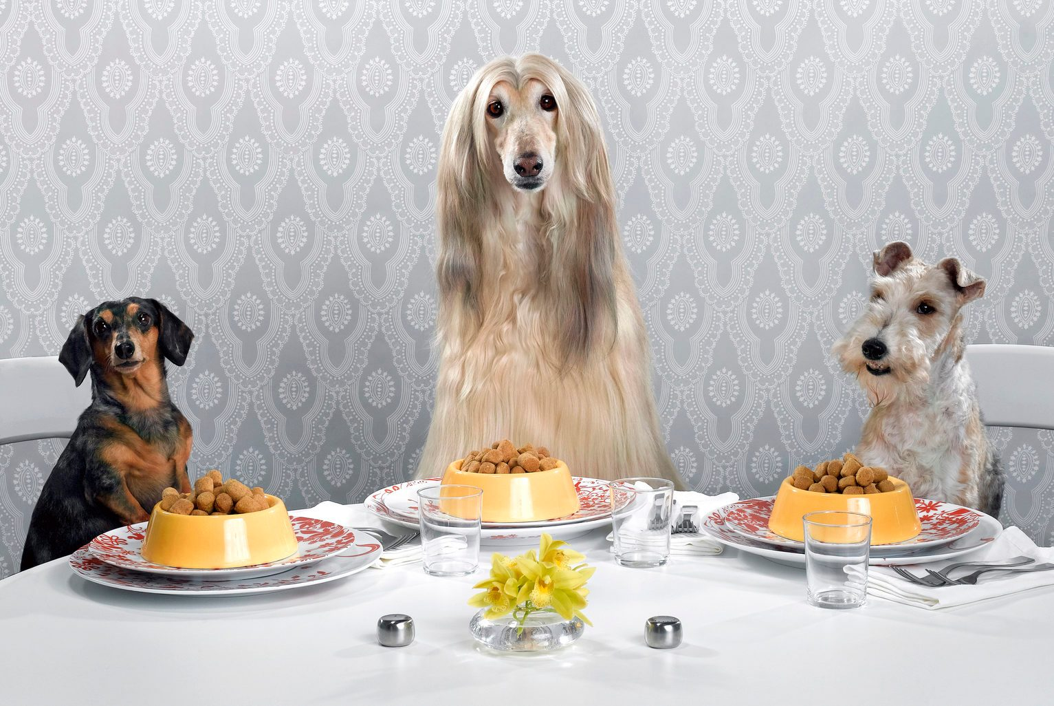 Dachshund, Afghan hound, and wire-haired terrier sitting around dinner table