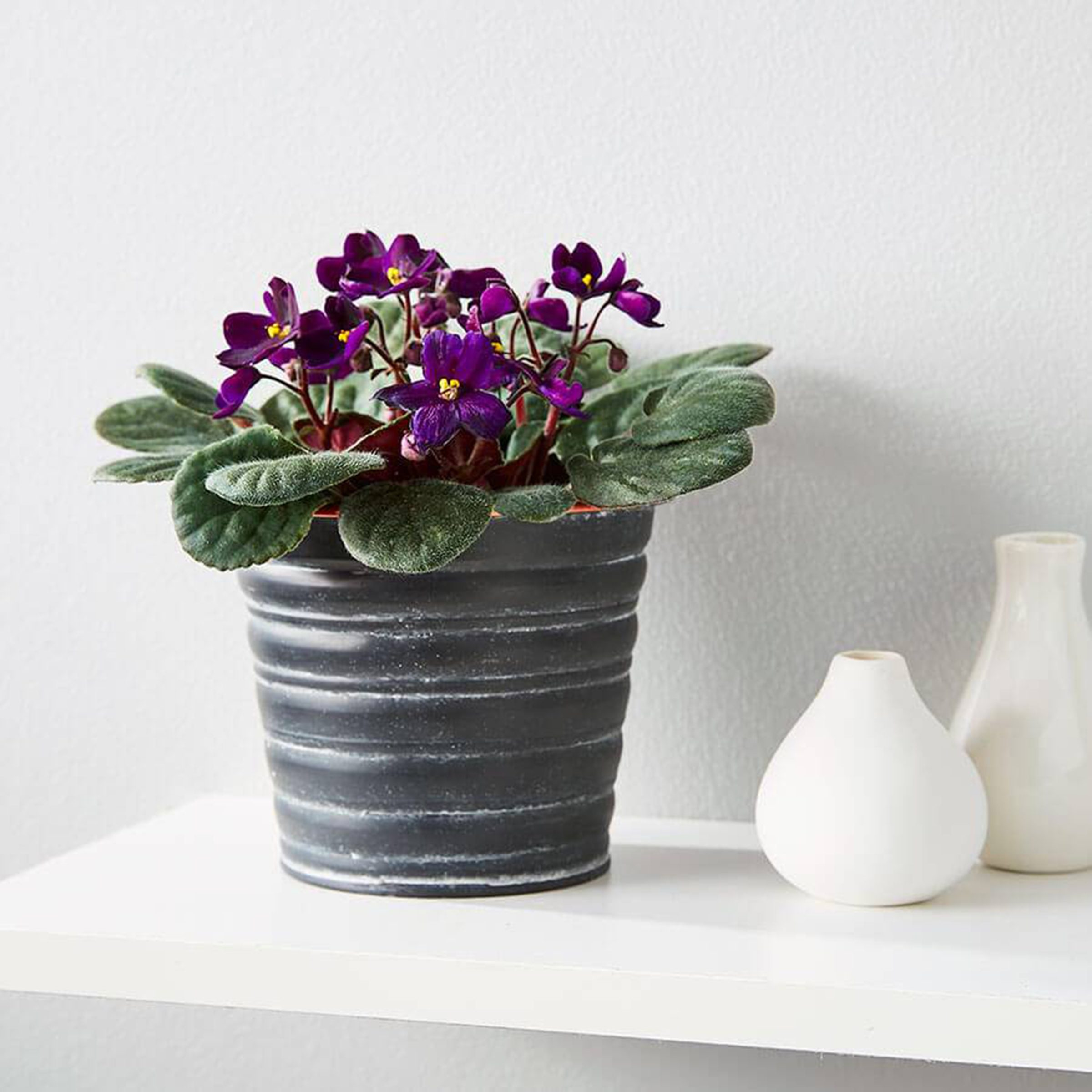African violet in tin pot on white desk