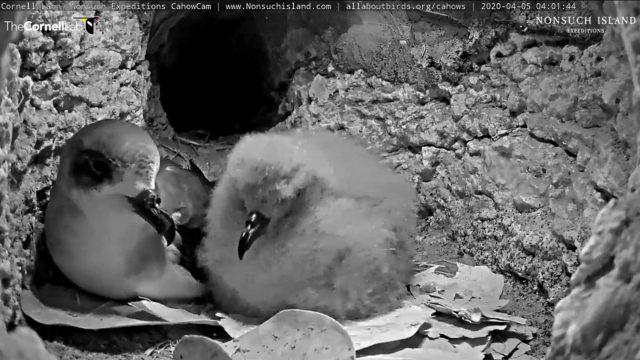 cahow nesting webcam