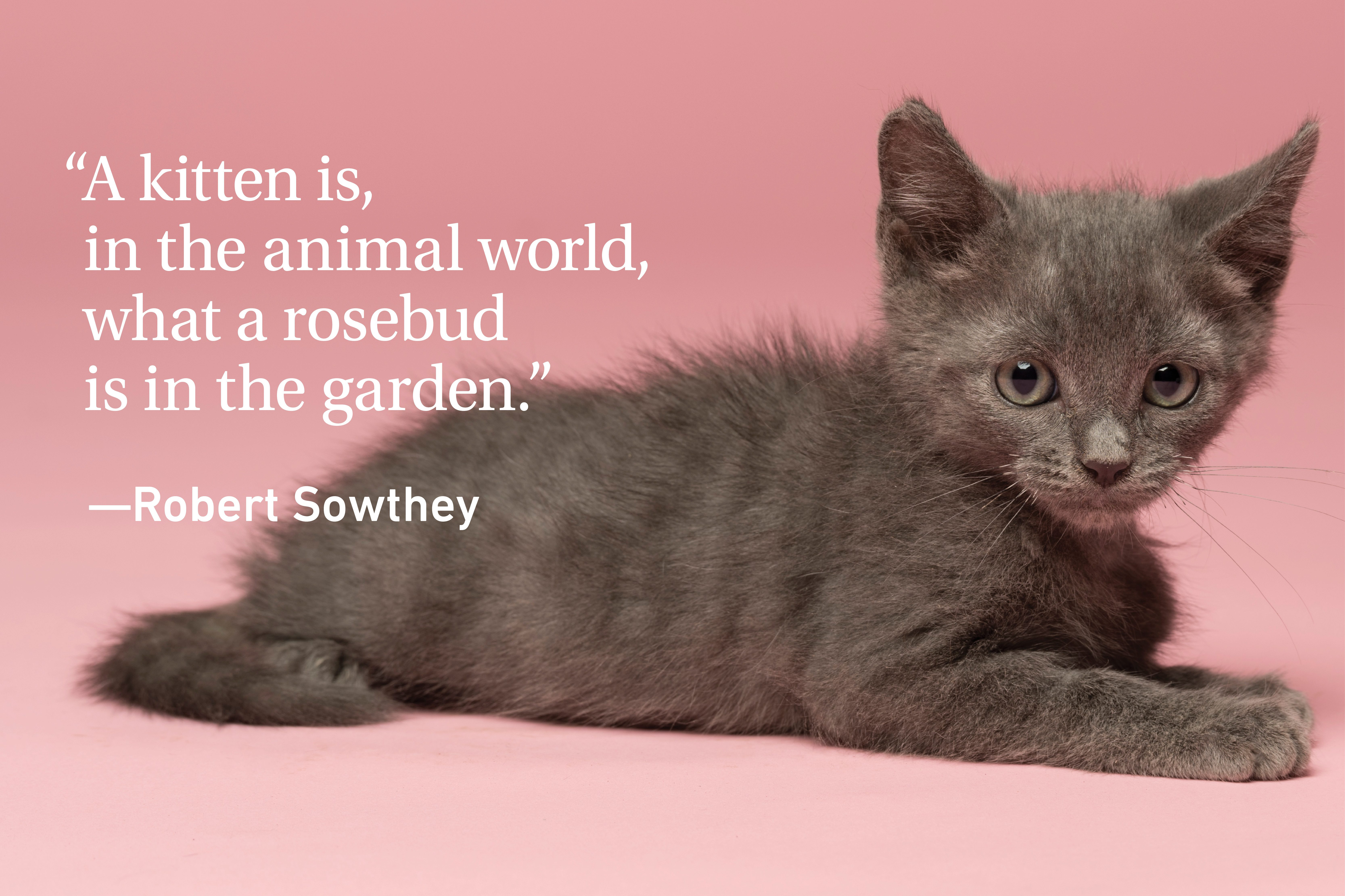 Kitten quote on pink background with a kitten laying down
