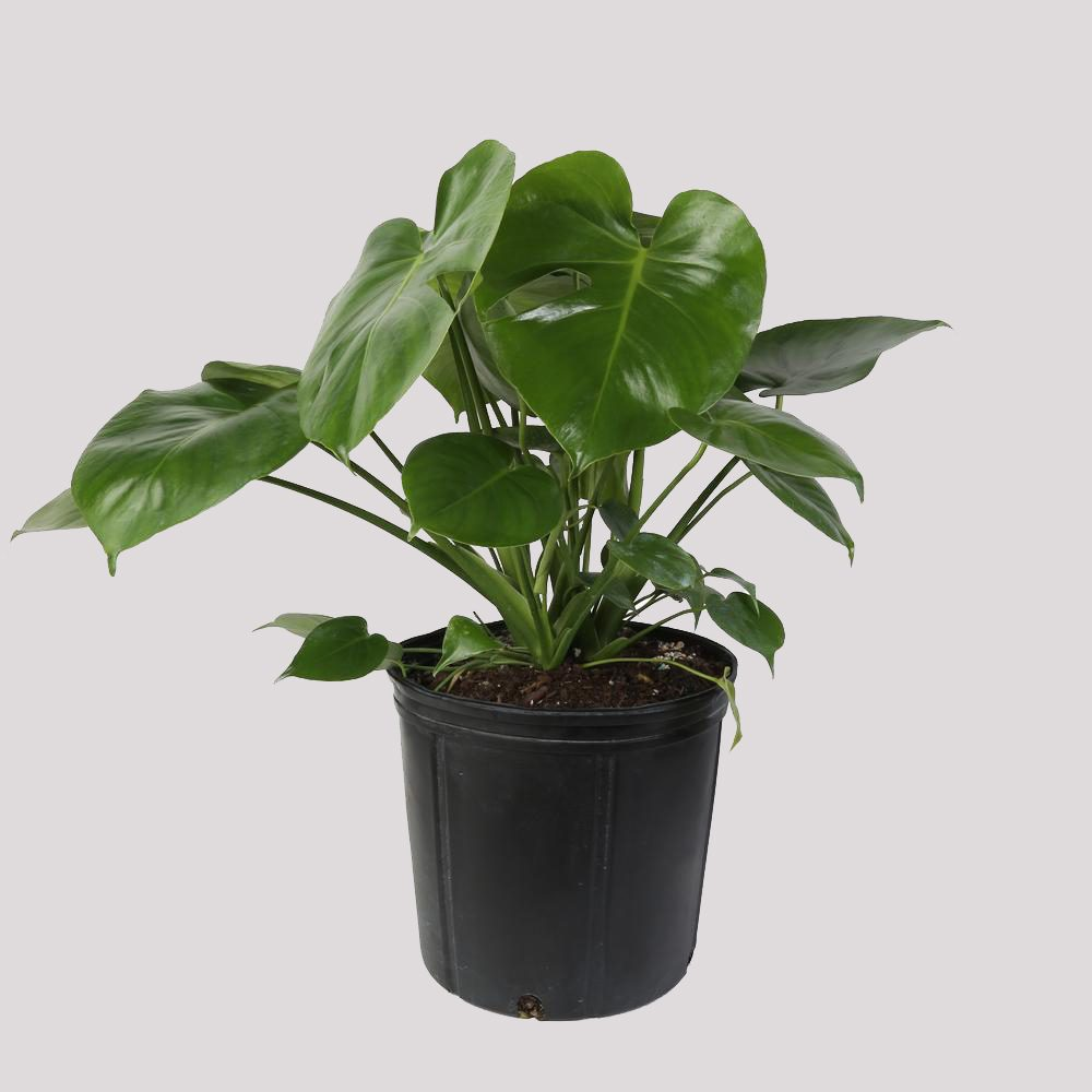 monstera house plant
