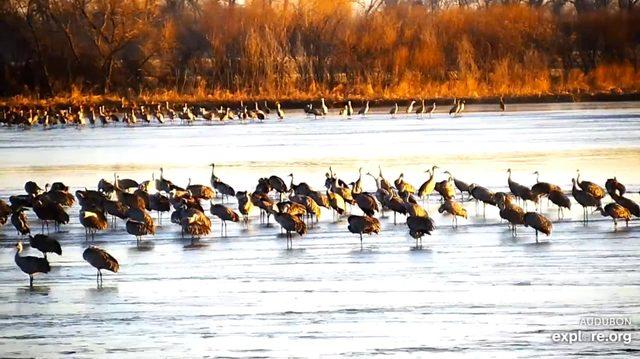 crane migration webcam
