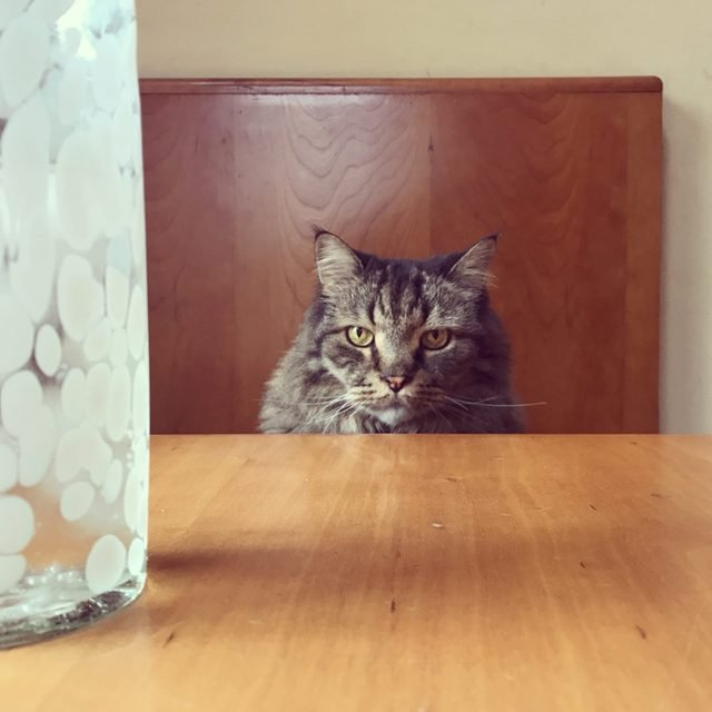 Portrait of a Serious Maine Coon Cat Sitting at a Table Waiting for Service