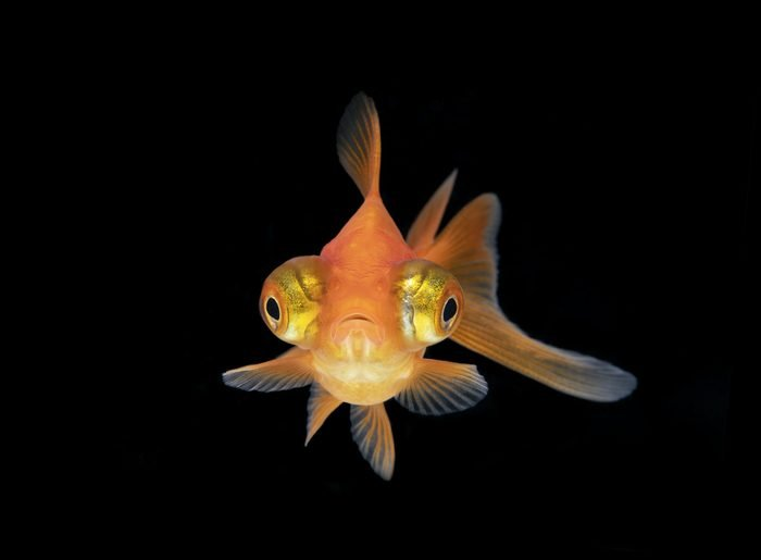 Front on Goldfish with black background
