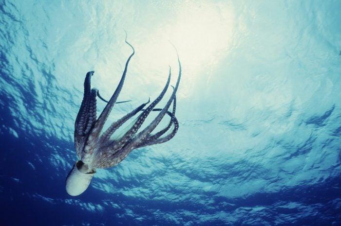 Octopus Dive