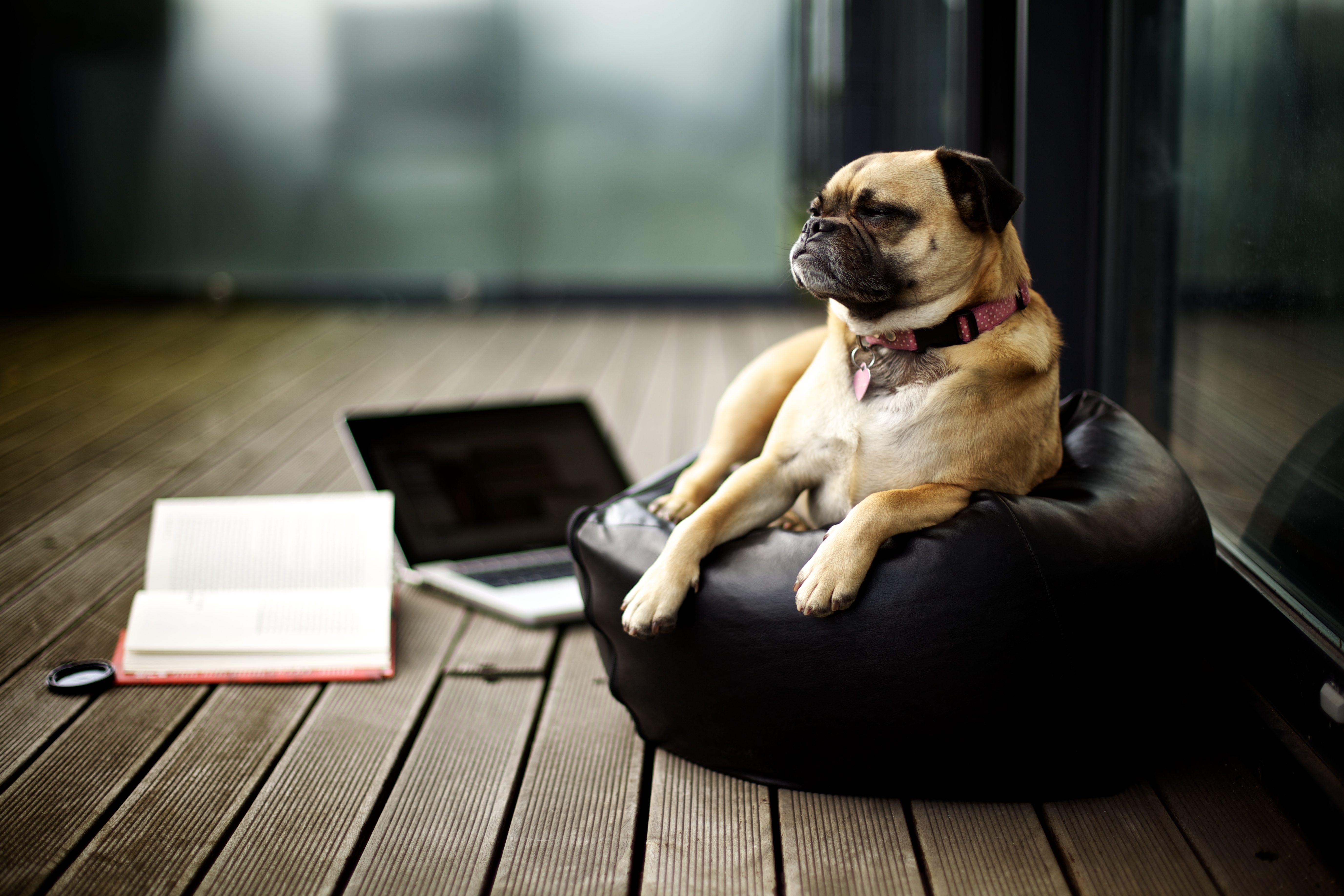 Pug on porch