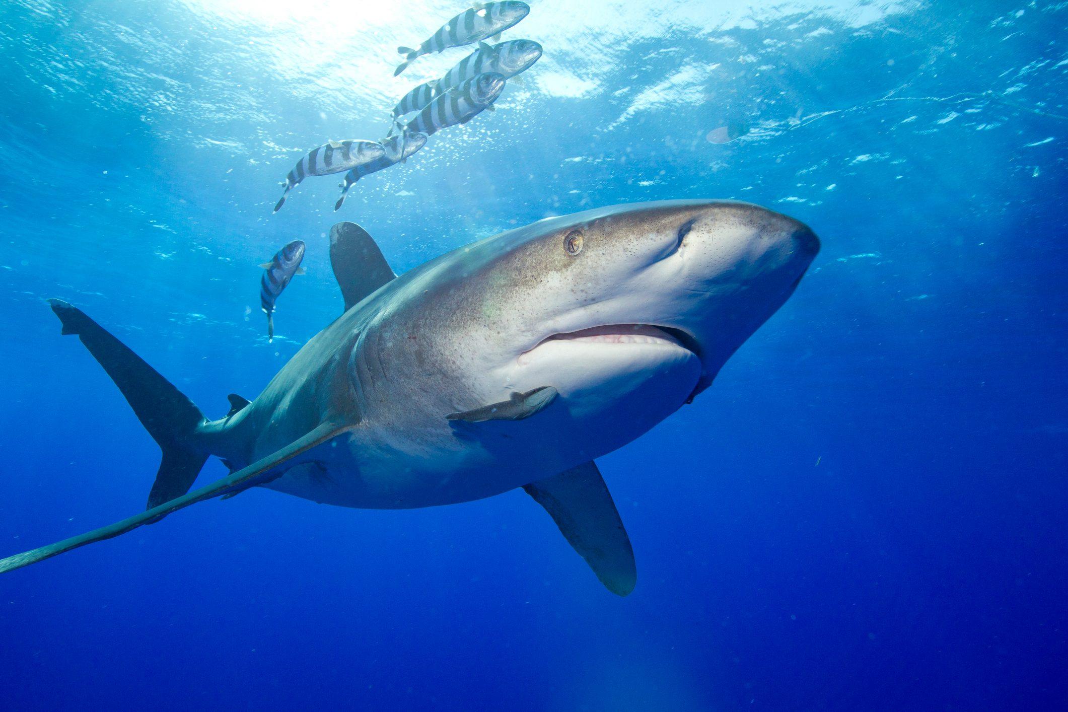 Predatory Oceanic Whitetip Shark