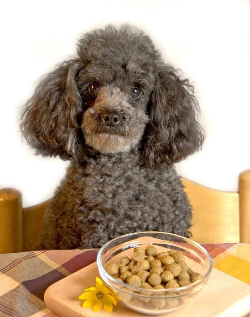 Miniature poodle at the dinner table.