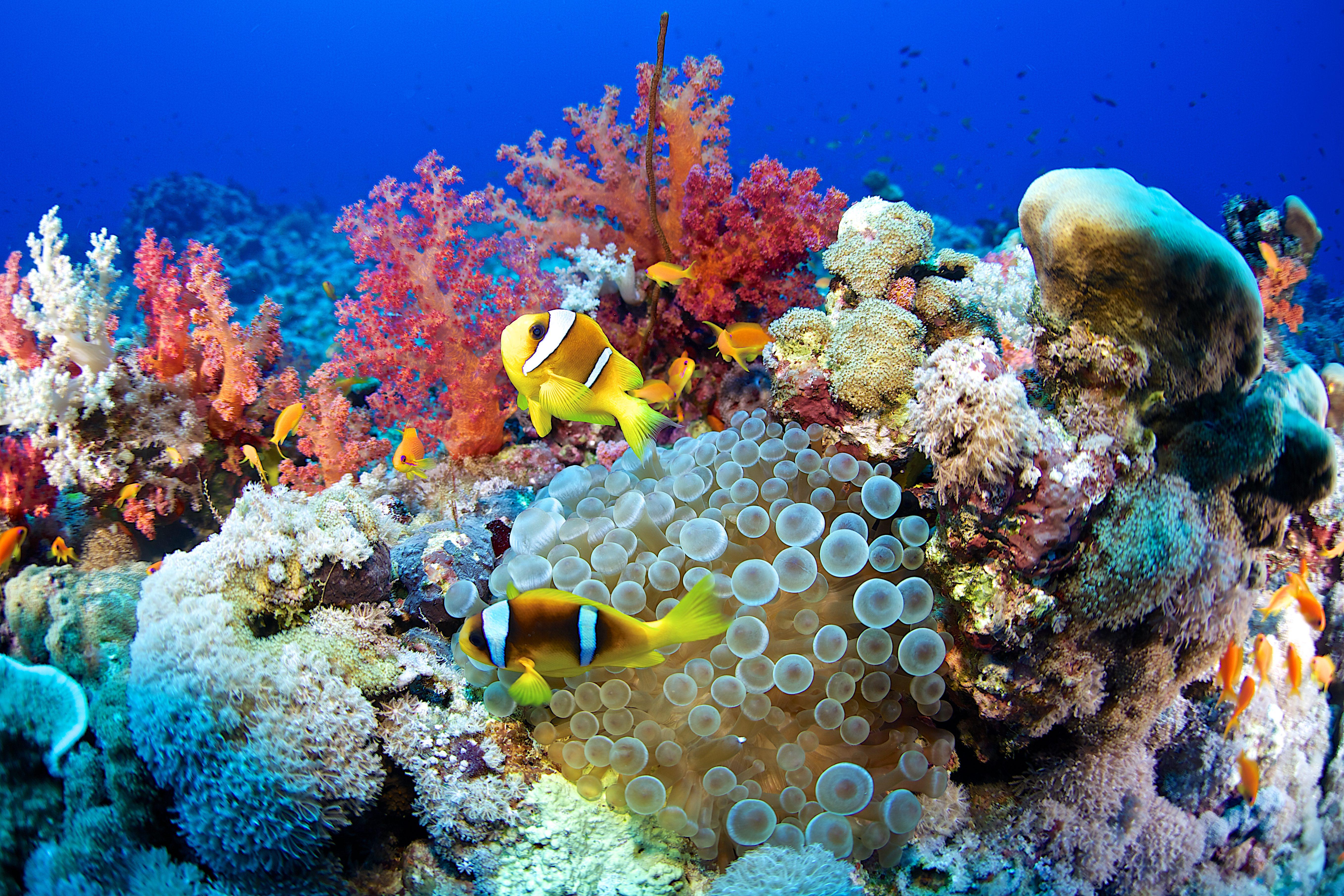 Clown fish-Amphiprion bicinctus