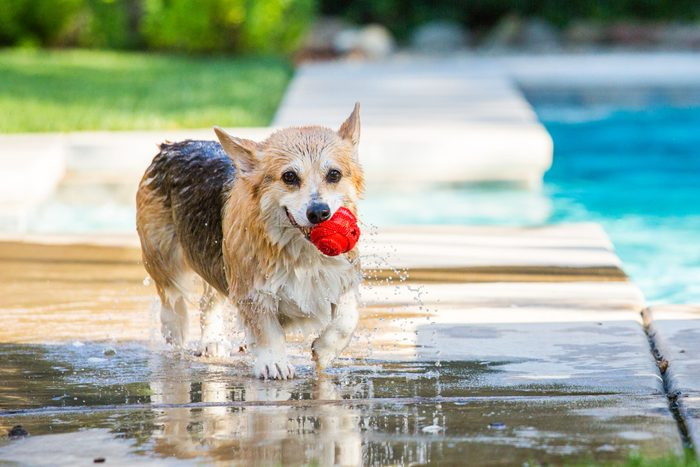 Wet corgi dog carries ball out of swimming pool