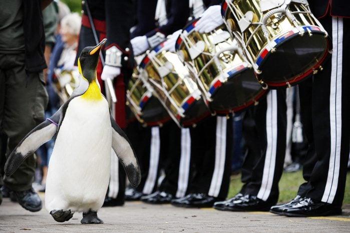 'Nils Olav' the penguin receives his kni