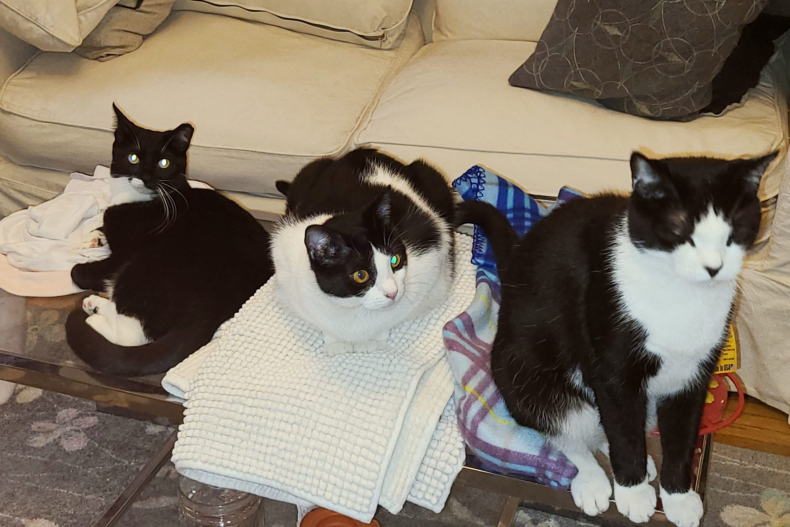 three cats on the coffee table