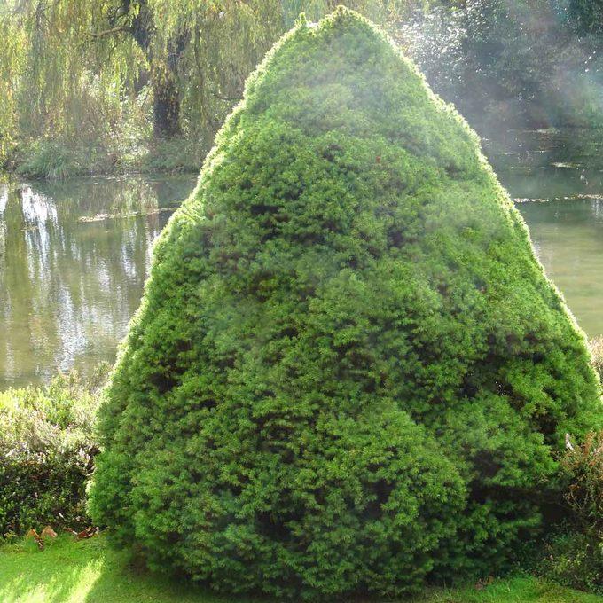 Dwarf Alberta Spruce