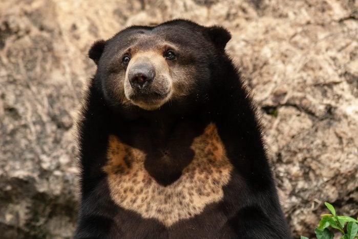 Portrait of Helarctos malayanus (Malayan Sun Bear, Sun Bear)