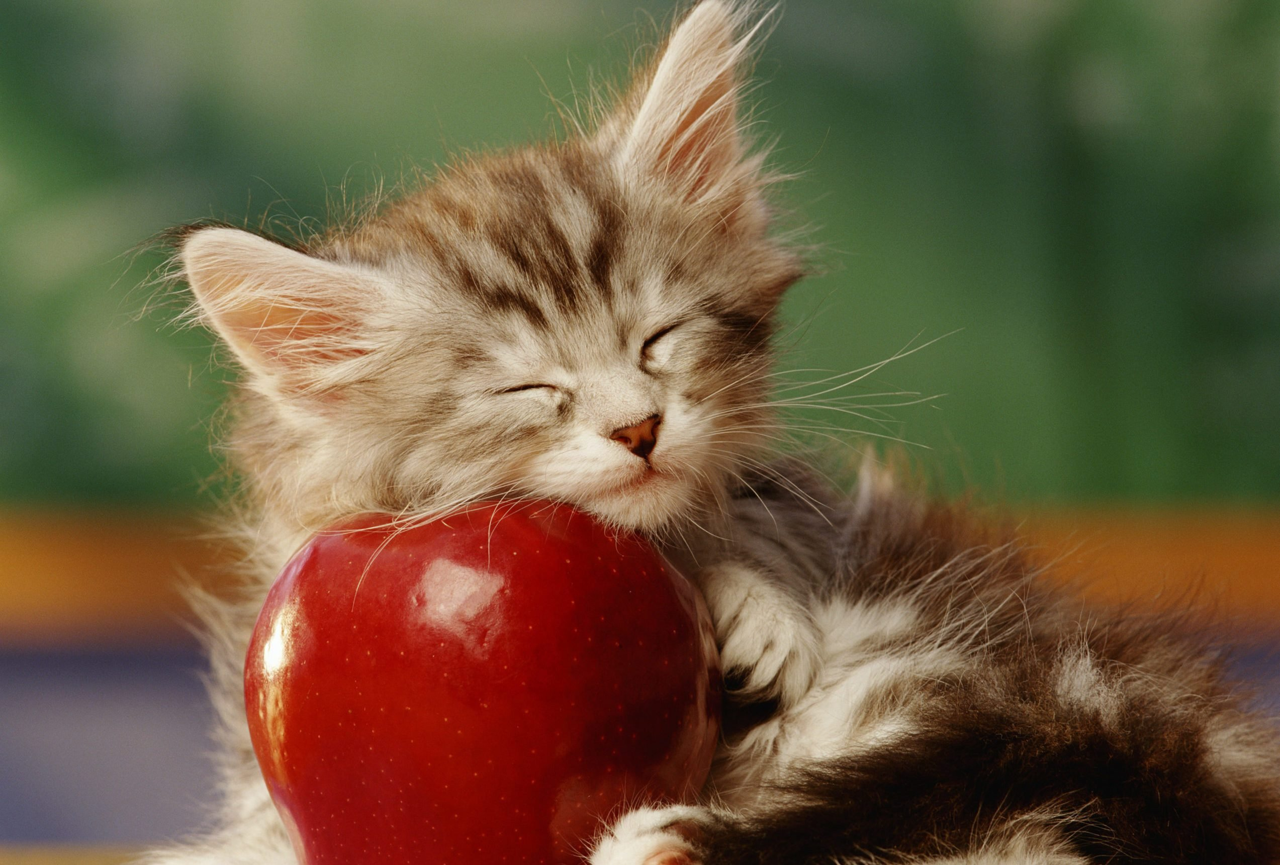 KITTEN SLEEPING ON APPLE IN CLASSROOM